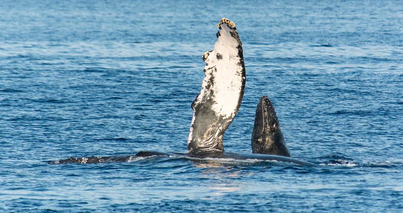 Maui Whales-29.jpg