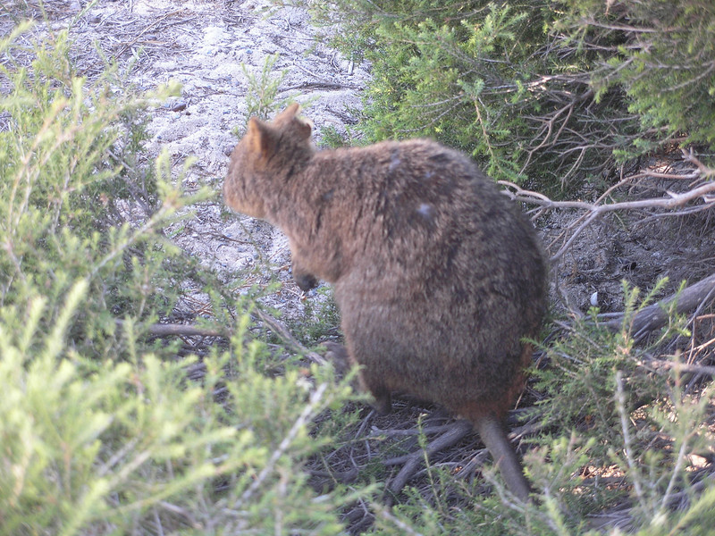 Quokkas - miniature marsupial animal