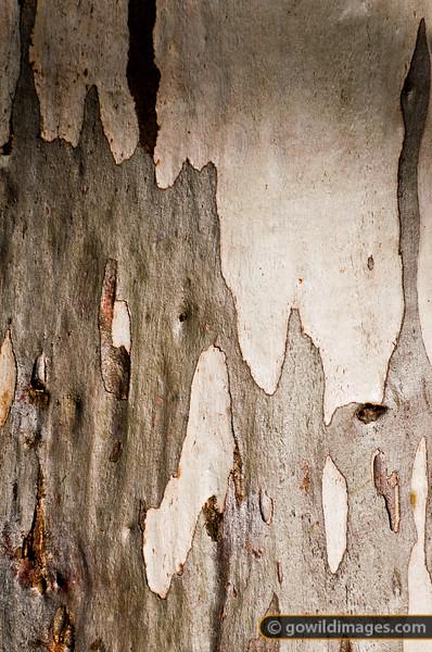 Snow gum bark texture