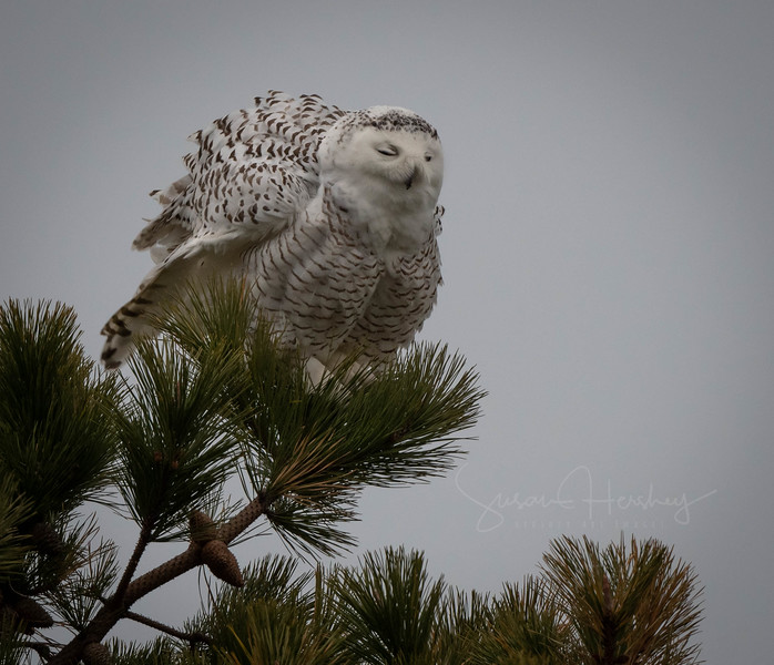 Snowy Owl Fluff up