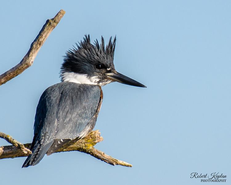 Kingfisher-4193.jpg