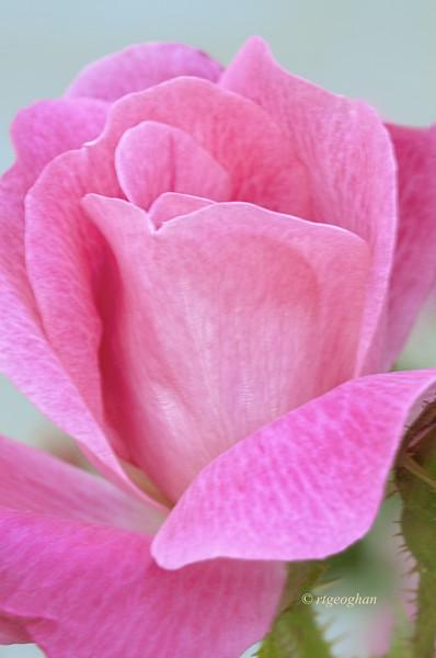 May 27_Pink Rosebud_0984.jpg