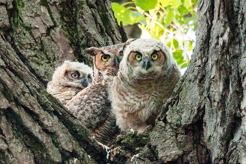 College Hill Park Owls