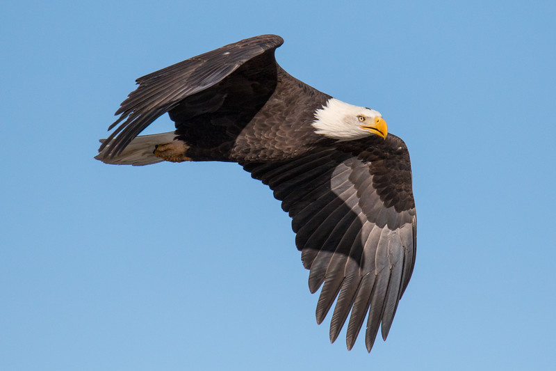 Tahoe Eagle Winter 2020-2.jpg