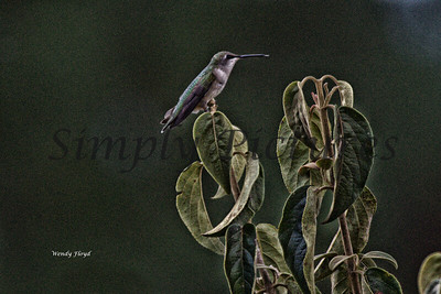 Hummers  (26)