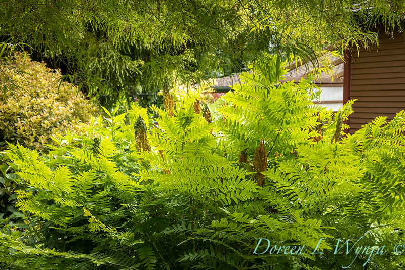 Osmunda regalis in a garden setting_6880.jpg