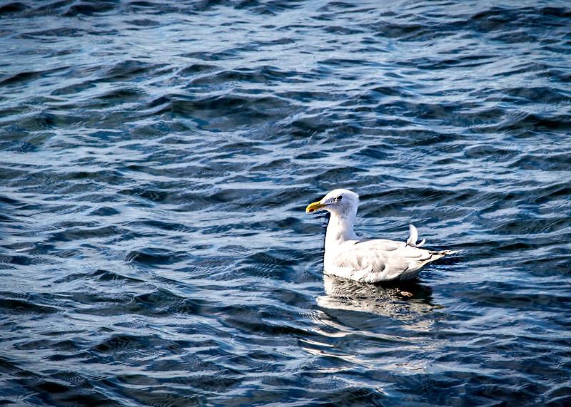 Gull_01b.jpg