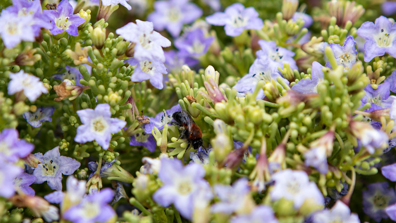 Chilean National Humbolt Penguin Reserve Isla Damas -  Flowers and Hornet