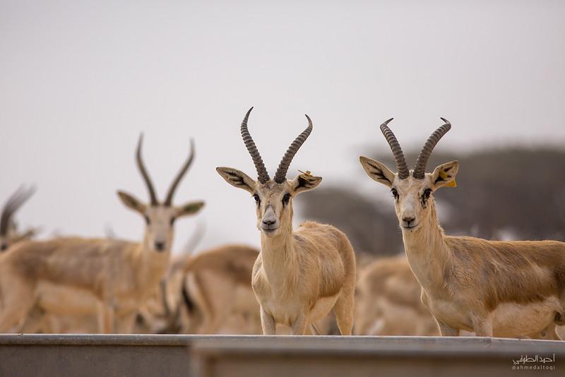 Gazelle (16).jpg