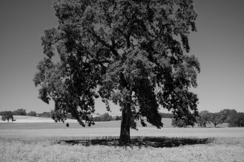 tree in a field.jpg