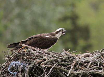 Osprey Nest 06-16-2013