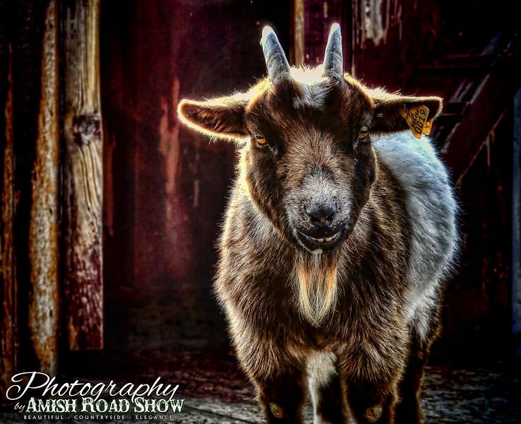 animals - goat at hayloft candles (p,b).jpg