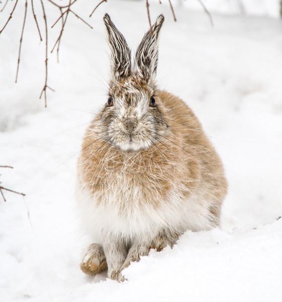 Snowshoe Hare Warren Nelson Memorial Bog Sax-Zim Bog MN IMG_0775.jpg