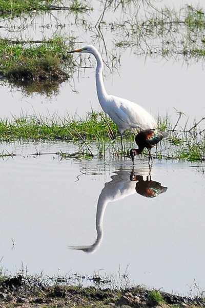 _D037810 Just Reflecting -- Great Egret and Glossy Ibis