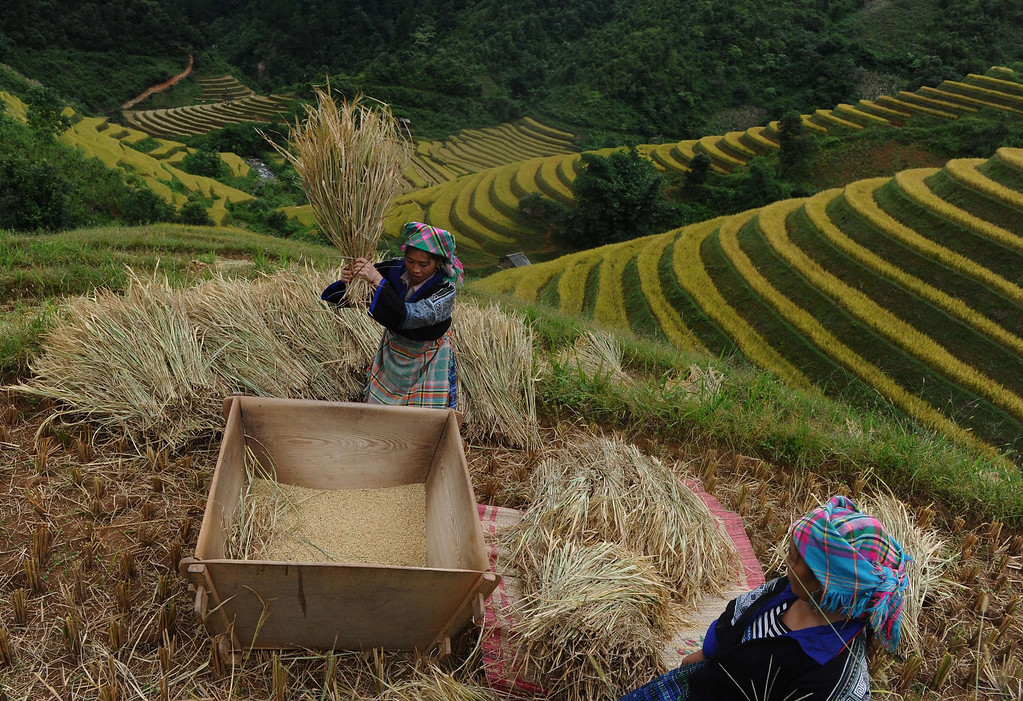 . This picture taken on October 1, 2013 shows Hmong ethnic hill tribe women harvesting rice on a terrace rice field in Mu Cang Chai district, in the northern mountainous province of Yen Bai. The local residents, mostly from the Hmong hill tribe, grow rice in the picturesque terrace fields whose age is estimated to hundreds years. Due to hard farming conditions, especially irrigation works, locals produce only one rice crop per year. In recent years a growing numbers of tourists have been attracted by the beautiful landscapes created by the region\'s rice terrace fields.  HOANG DINH NAM/AFP/Getty Images