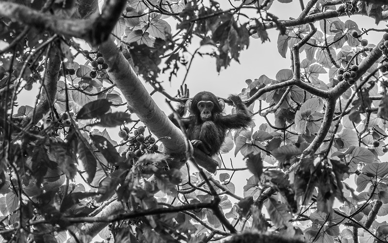Uganda_T_Chimps-1222.jpg