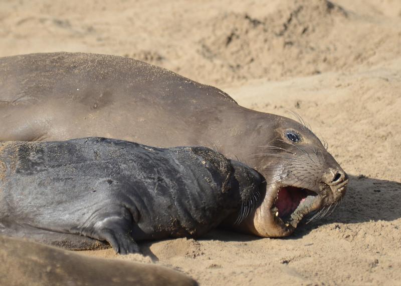 ano-nuevo-elephant-seals-2013 47.jpg