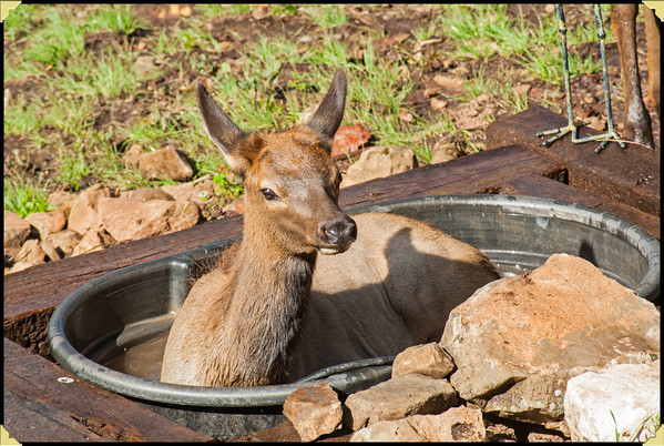 Elk Bathing