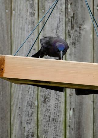 Back Yard Birds in Elsinboro and random May 2013