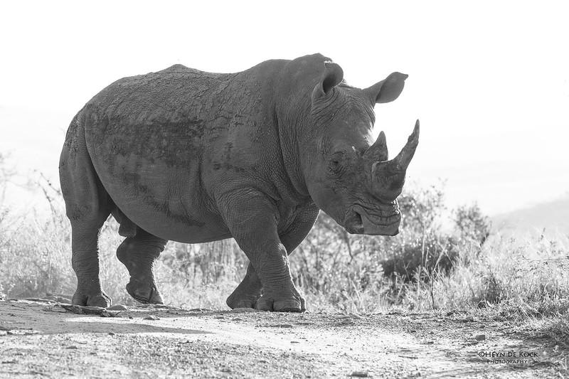 White Rhino, b&w, South Africa, May 2017-1.jpg
