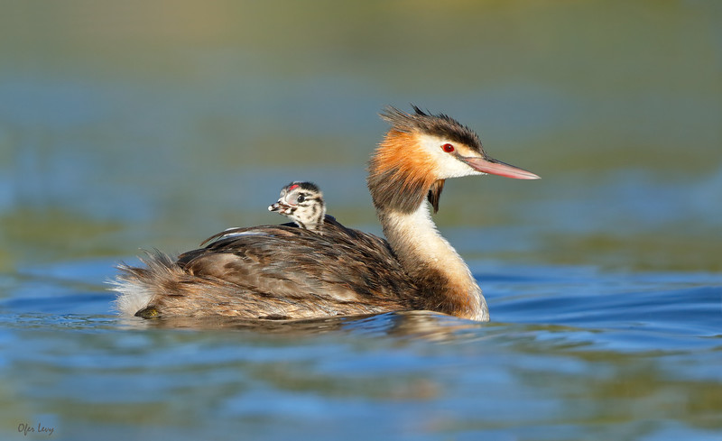 Great-crested Grebe with chick.jpg