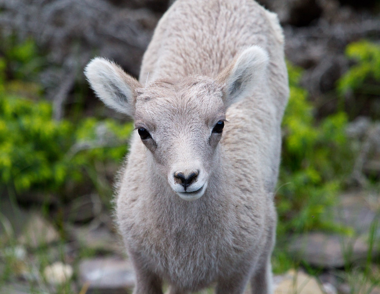Big Horn Sheep - Banff