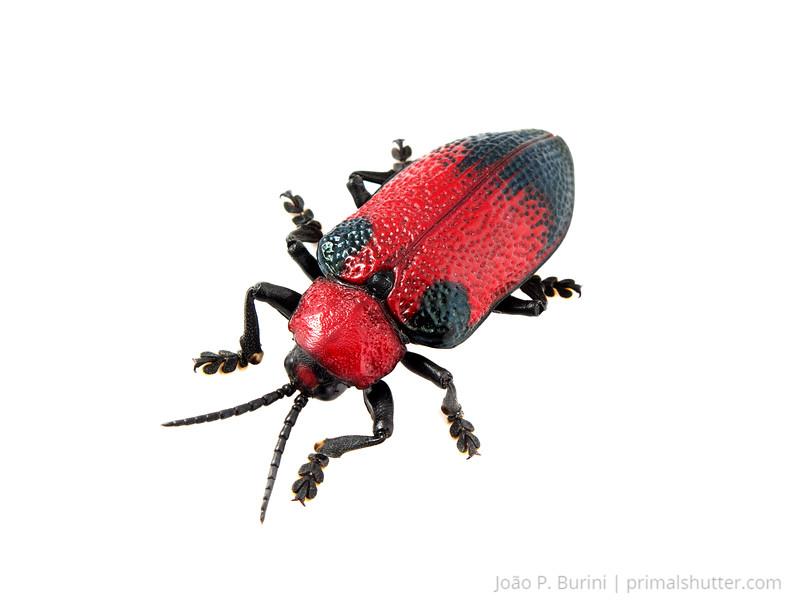 """Red chrysomelid beetle, """"barata do coqueiro"""" (Coraliomela sp.) Sorocaba, São Paulo, Brazil Urban February 2017"""