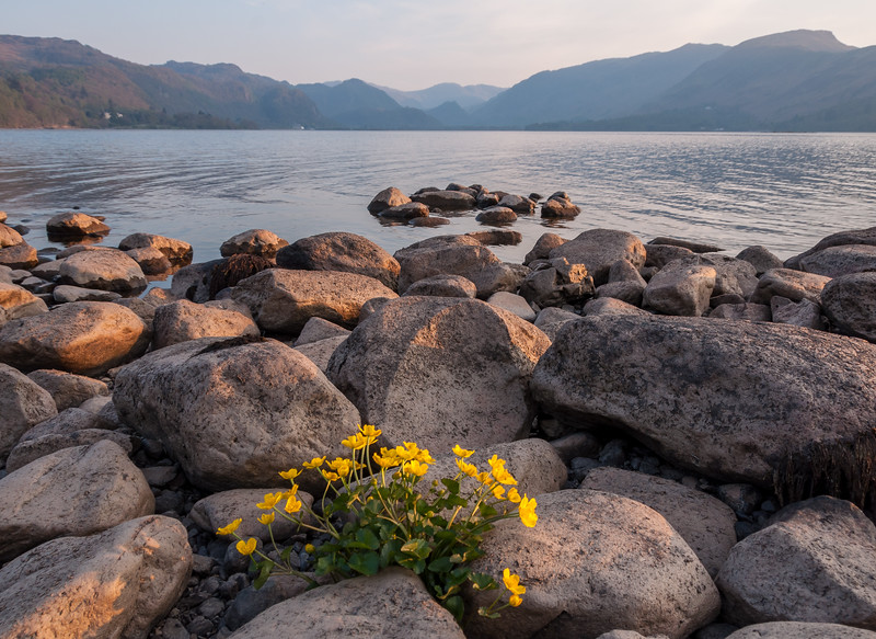 Buttercups on the lake shore