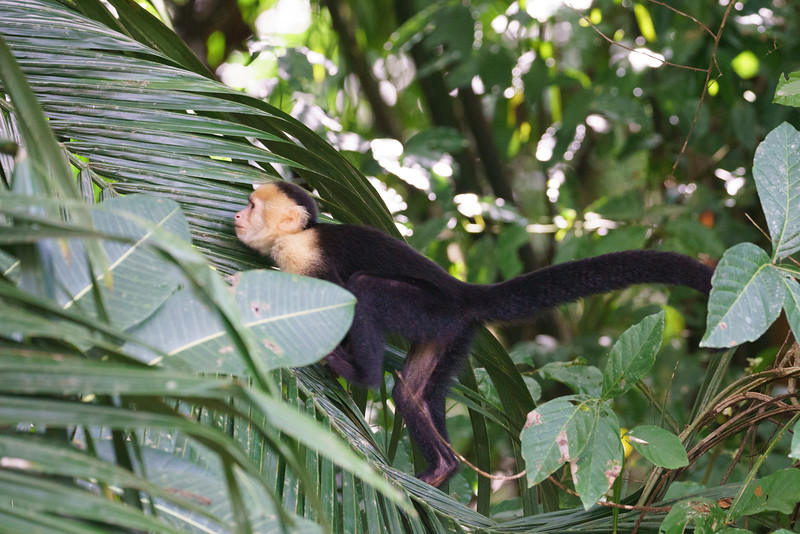 White-headed capuchin monkey