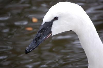 Swan Lake - Nov 25, 2007