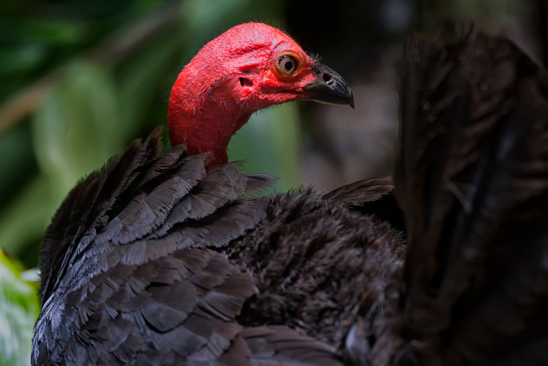 Australia_2013_Atherton_Brush_Turkey_FH0T6697.jpg
