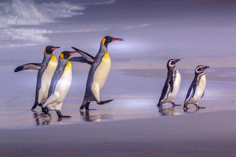 King and Magellanic penguins, Falkland Islands