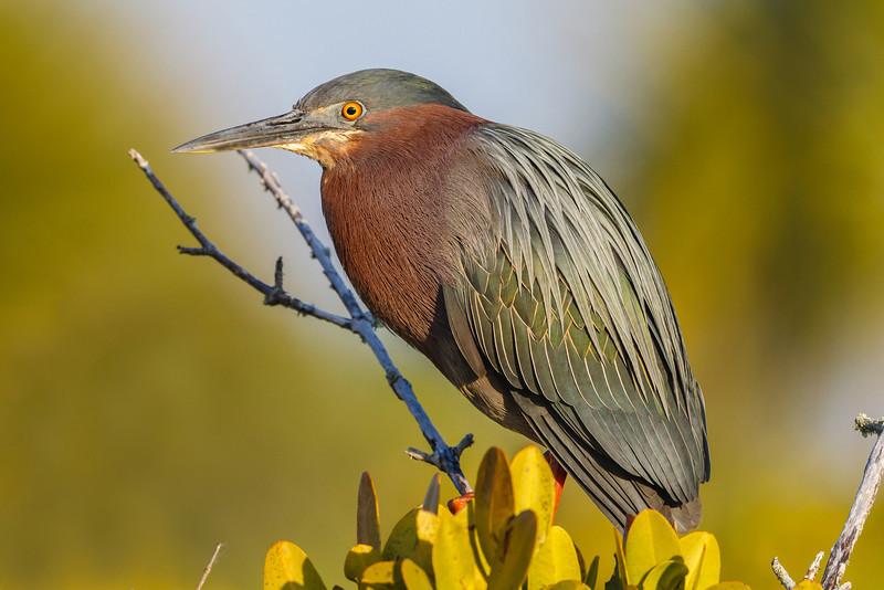 Green Heron, Merritt Island NWR