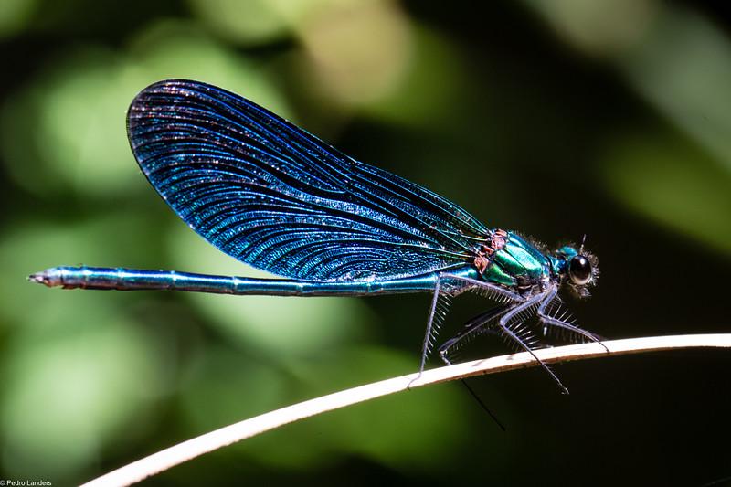 Beautiful Demoiselle - Male