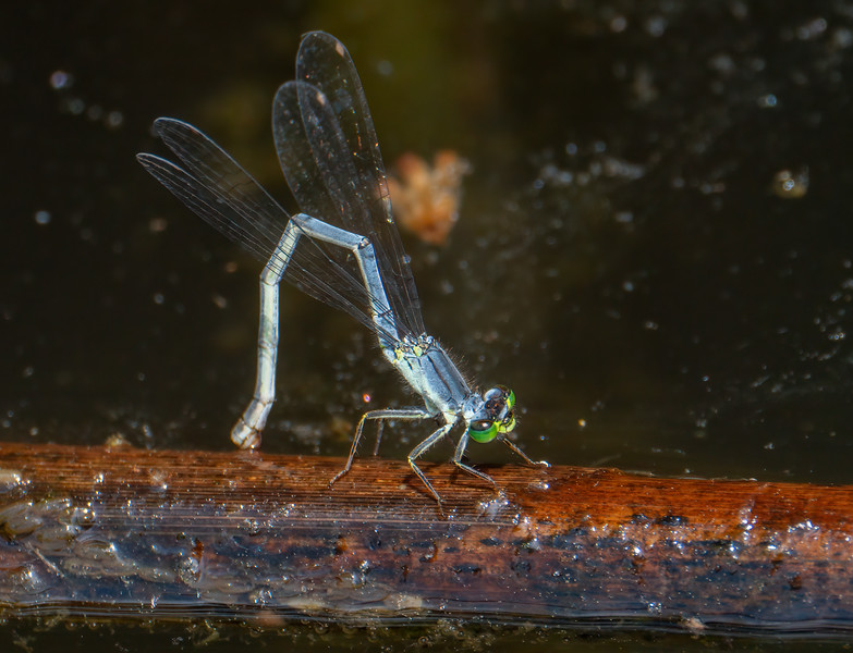 Eastern Forktail (Ischnura verticalis), ovipositing female