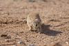 Desert Ground Squirrel Stalking?