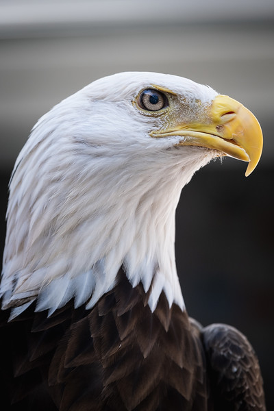Bald Eagle's portrait.jpg