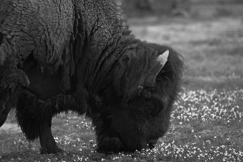 Bison Breakfasts