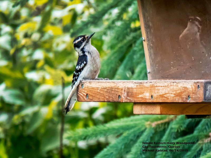 a624 1505 IMG_1044 4T female Eastern Hairy Woodpecker Cap Tourmente Quebec.jpg