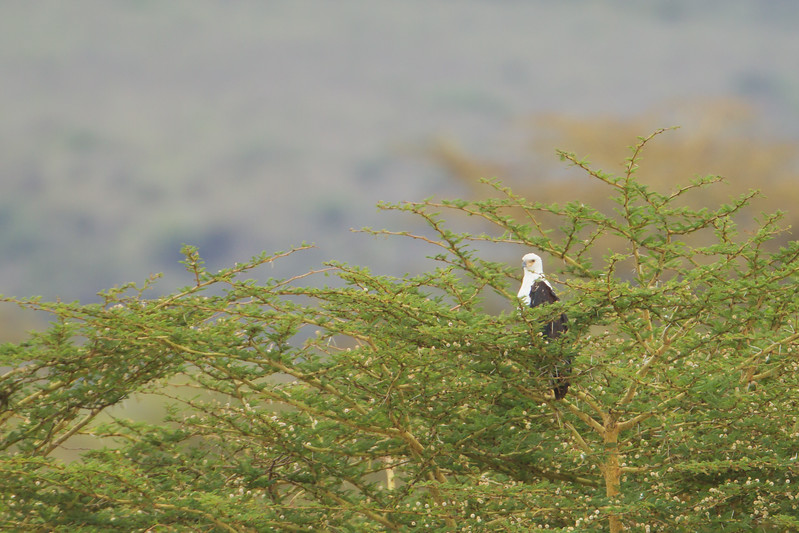 African Fish Eagle - Ngorongoro Crater, Tanzania