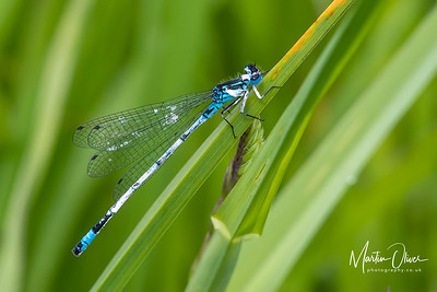 Damselfly, Variable