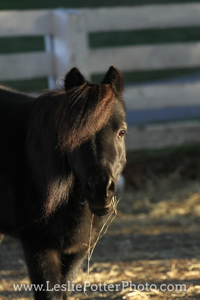 Black Miniature Horse Eating Hay at Sunset