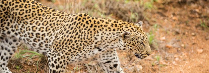 panthera.leopard.bencarmichael-25.jpg