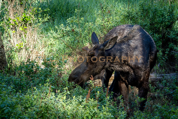 05/27/18 Young Bull Moose in Cataldo, Idaho
