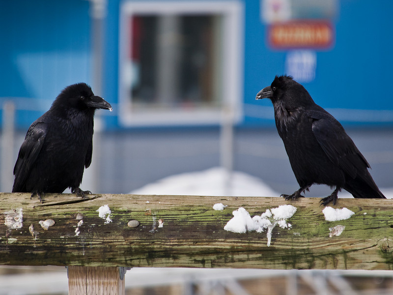 Downtown pair of Ravens.