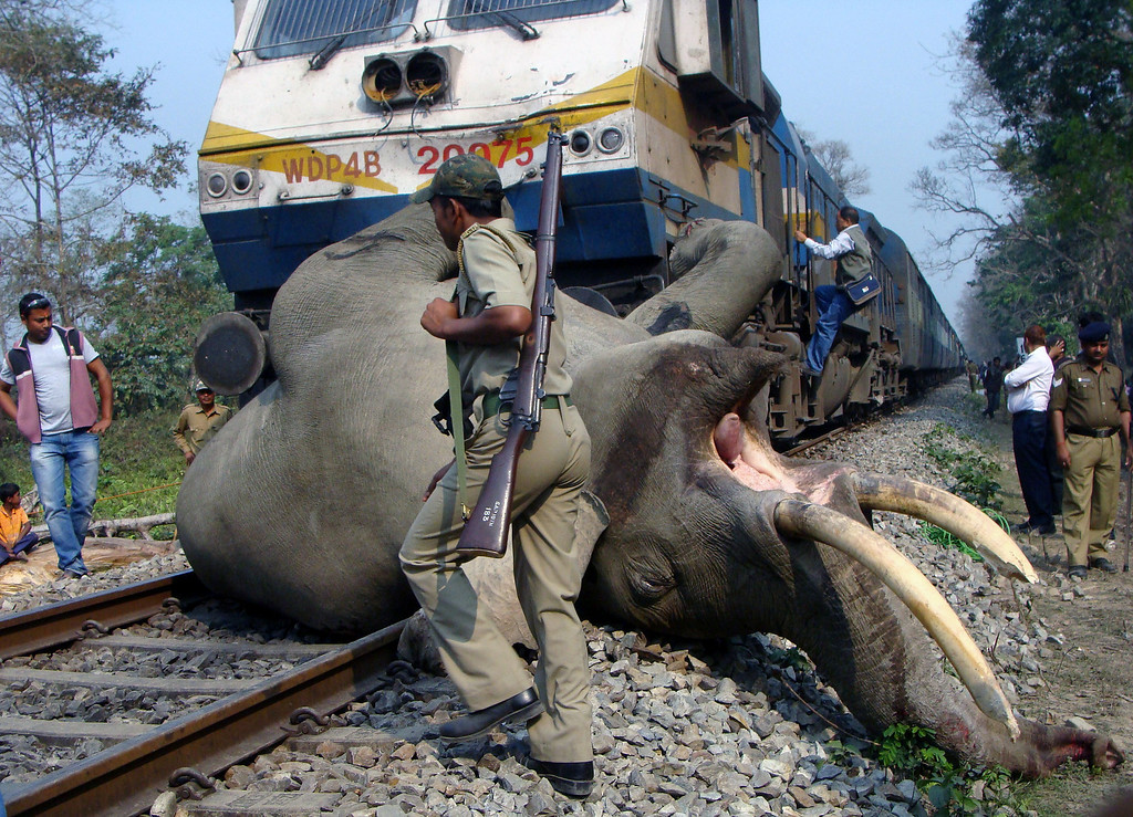 . An Indian forestry worker walks past the body of a tusker elephant after it was struck and killed by a train at the Buxa Tiger Reserve, some 12 kms from Alipurduar on March 5, 2013. STR/AFP/Getty Images