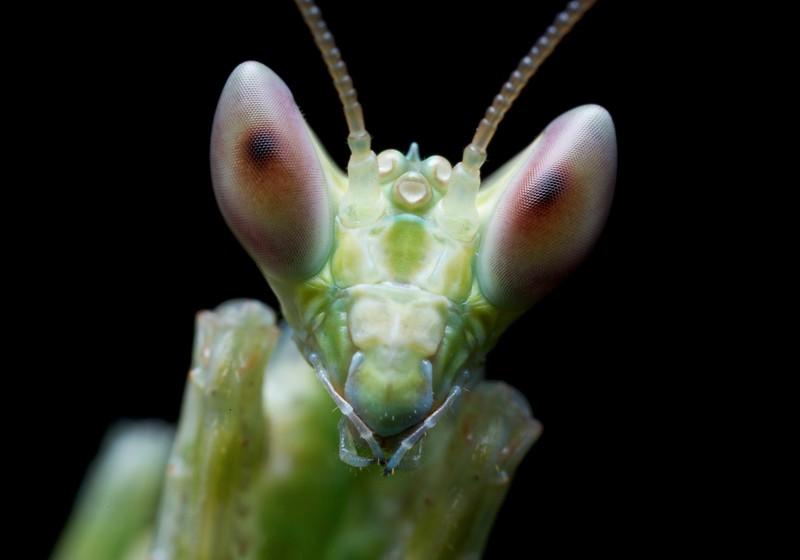 African flower mantis