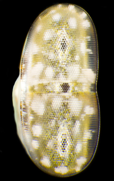 The eye of Lysiosquillina maculata