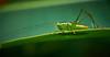 Grasshopper in the sunlight