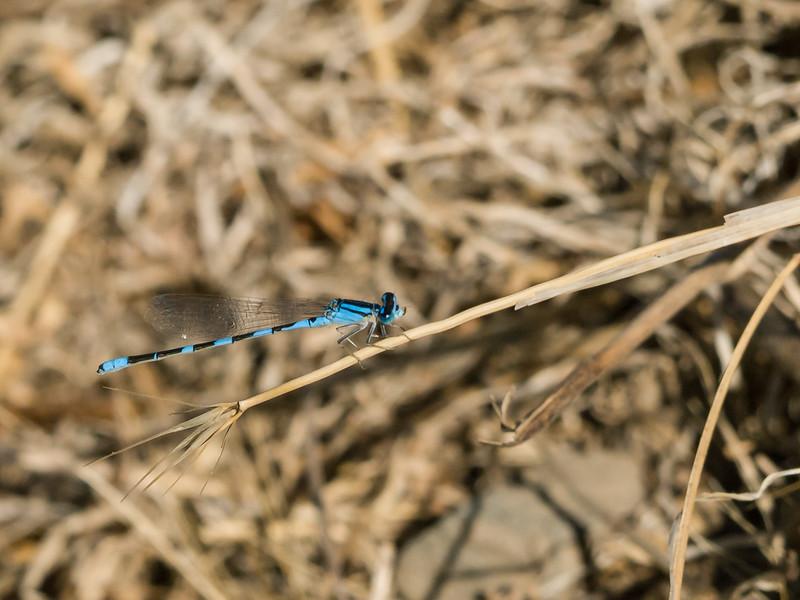 River Bluet - Enallagma anna (M)